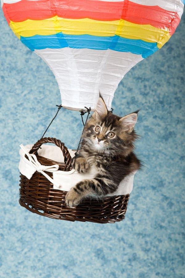 Maine Coon kitten in miniature hot air balloon
