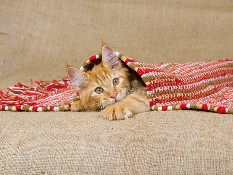 Maine Coon kitten peeping under carpet