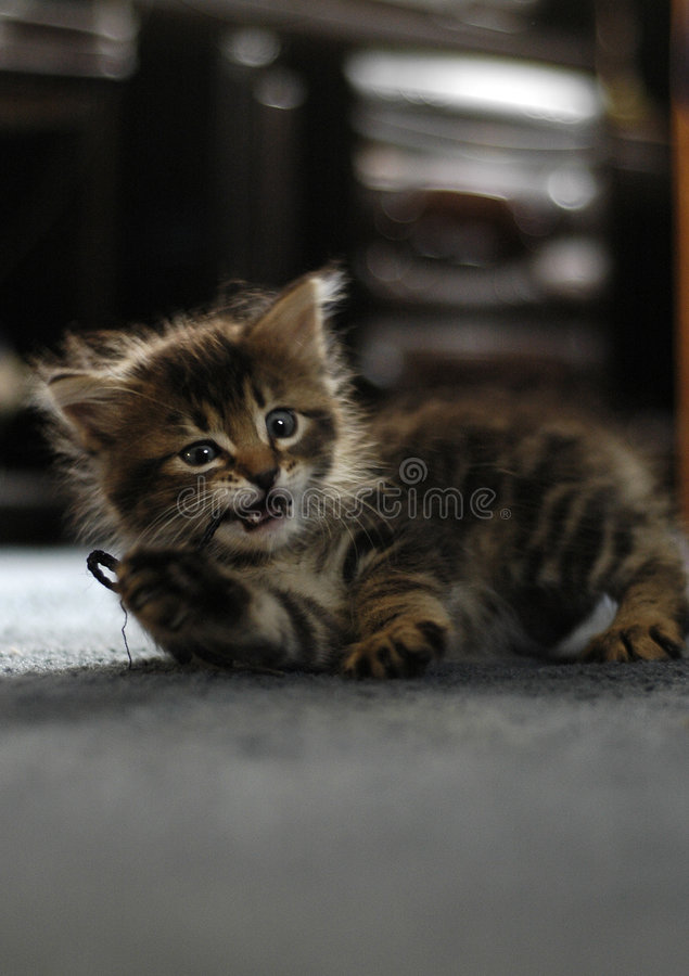 Download Maine Coon Kitten Playing stock photo. Image of playful - 2157958