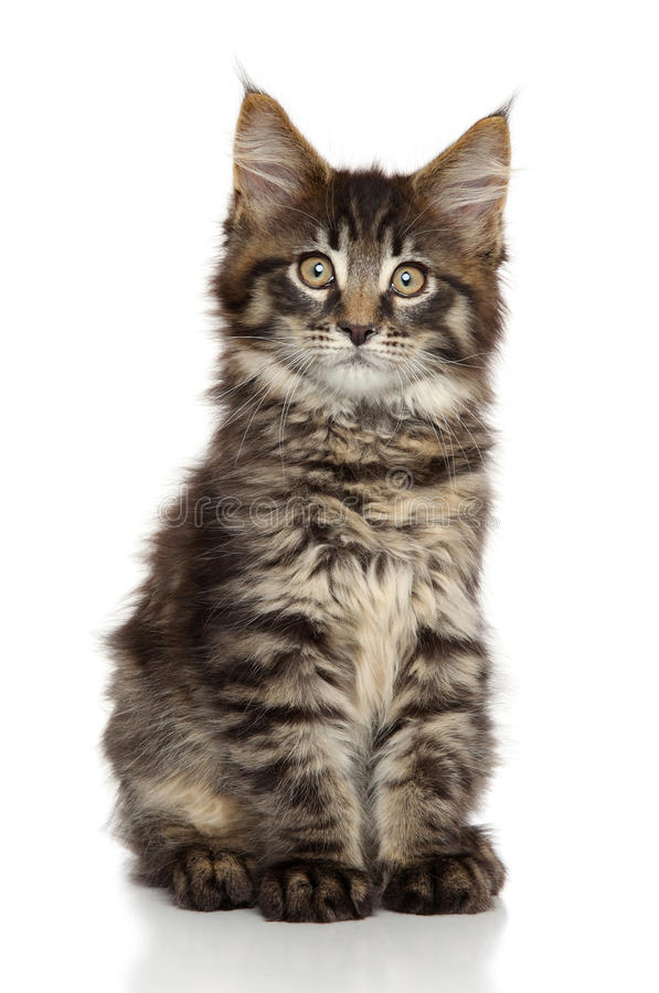 Maine Coon kitten. Portrait on white background royalty free stock photos
