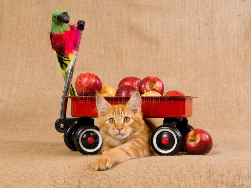 Download Maine Coon Kitten With Red Wagon And Apples Stock Photo - Image: 10511932