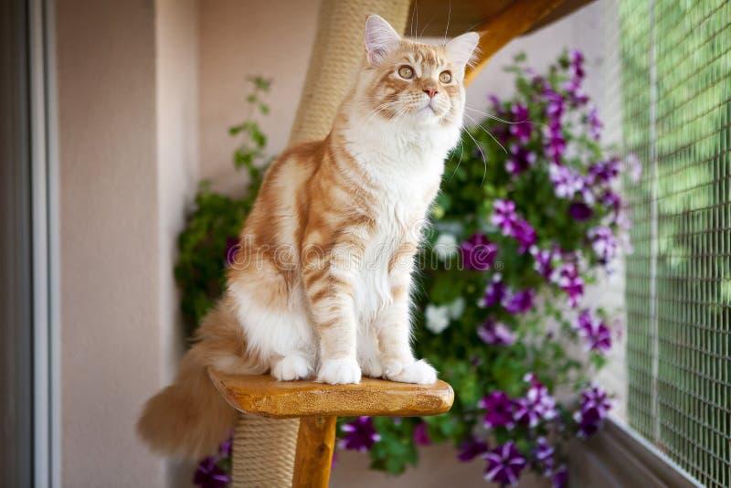 Maine Coon Kitten sammanträde på den skrapande stolpen royaltyfria bilder