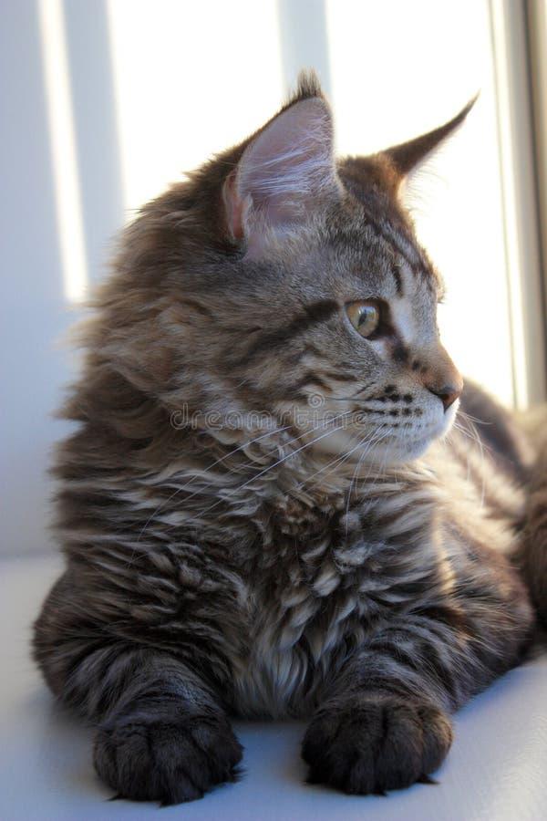 Maine Coon Kitten Side Profile royalty-vrije stock afbeeldingen