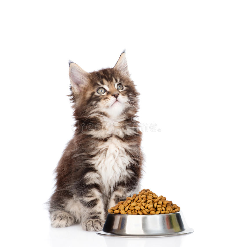maine coon kitten sitting with a bowl of dry cat food and looking up. isolated on white background royalty free stock photos