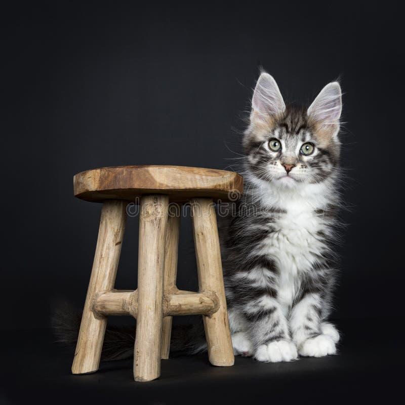 Maine Coon kitten sitting next wooden stool stock photography