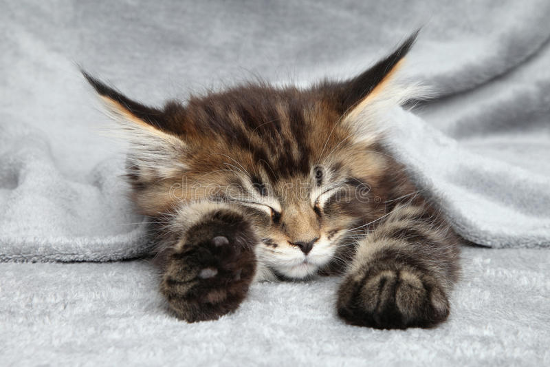 Maine Coon kitten sleep. Under blanket royalty free stock image