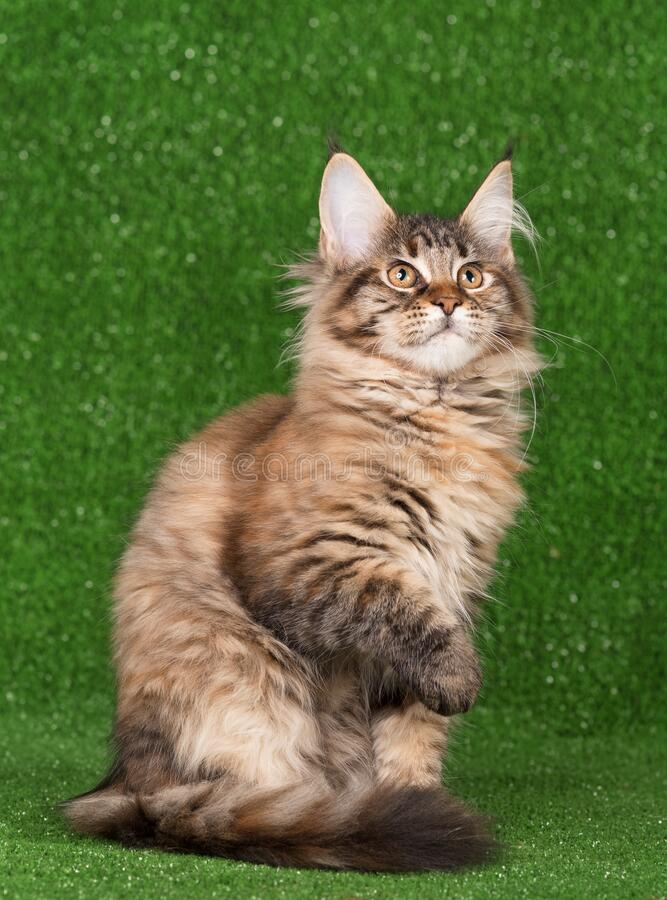 Maine Coon kitten royalty-vrije stock fotografie