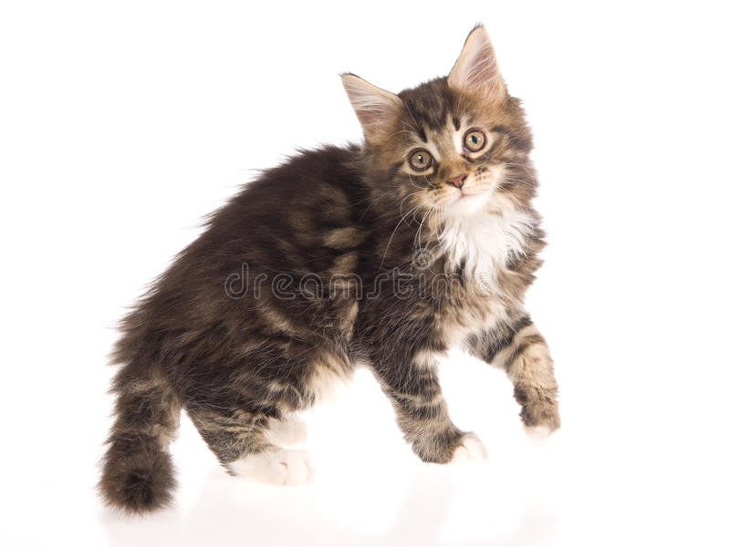 Download Maine Coon Kitten On White Background Stock Image - Image: 9699151