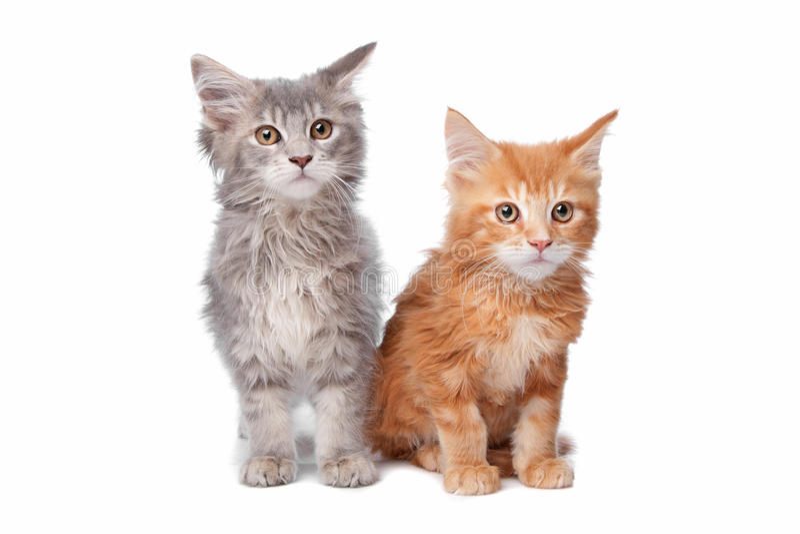 Maine Coon Kittens Stock Photo