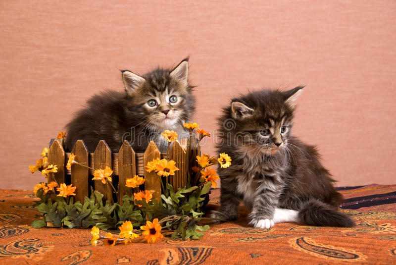 Download Maine Coon Kittens With Box And Daisy Flowers Stock Photo - Image: 9755446