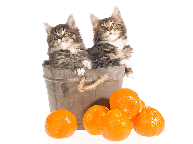 Download Maine Coon Kittens In Vat With Fruit Stock Photo - Image: 9699102