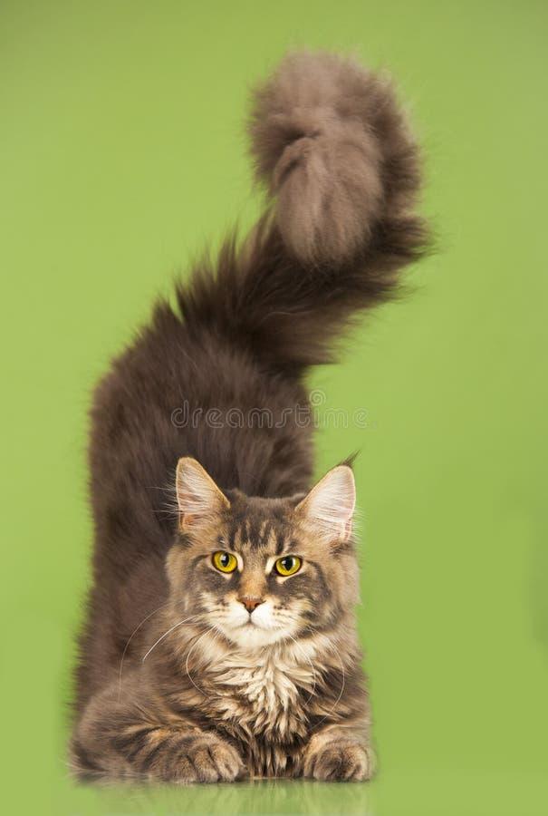 Download Maine Coon kot obraz stock. Obraz złożonej z cięcie, ssak - 53782299