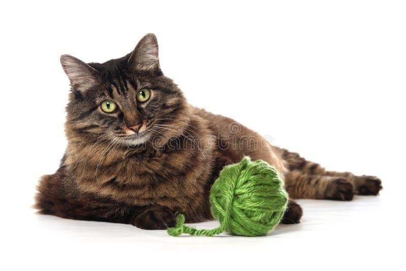 Maine Coon kot bawić się z zieloną przędzą, odizolowywającą na wh fotografia stock