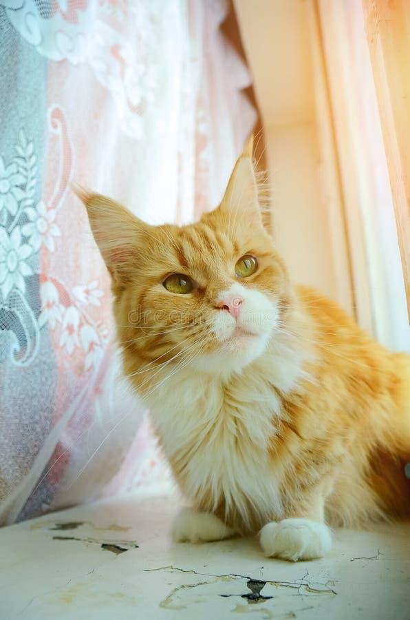 Maine Coon kot jest czerwony z białym klatki piersiowej obsiadaniem na okno Tonować w stylu instagram zdjęcie stock