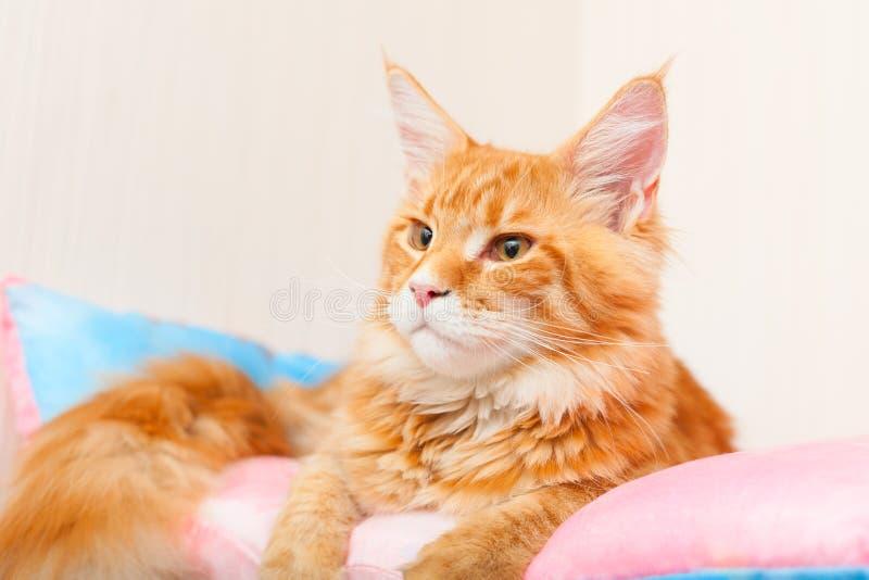 Maine Coon kot na poduszce zdjęcia stock