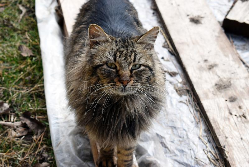 Maine Coon kot obrazy stock