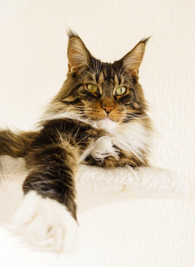 Maine Coon kota chłopiec kłaść z nogą rozciągał naprzód obraz stock