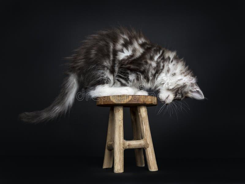 Maine Coon kota, figlarki obsiadanie/ obraz royalty free