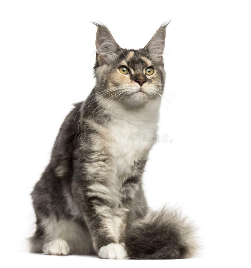 Maine Coon kota obsiadanie odizolowywający na bielu obraz stock