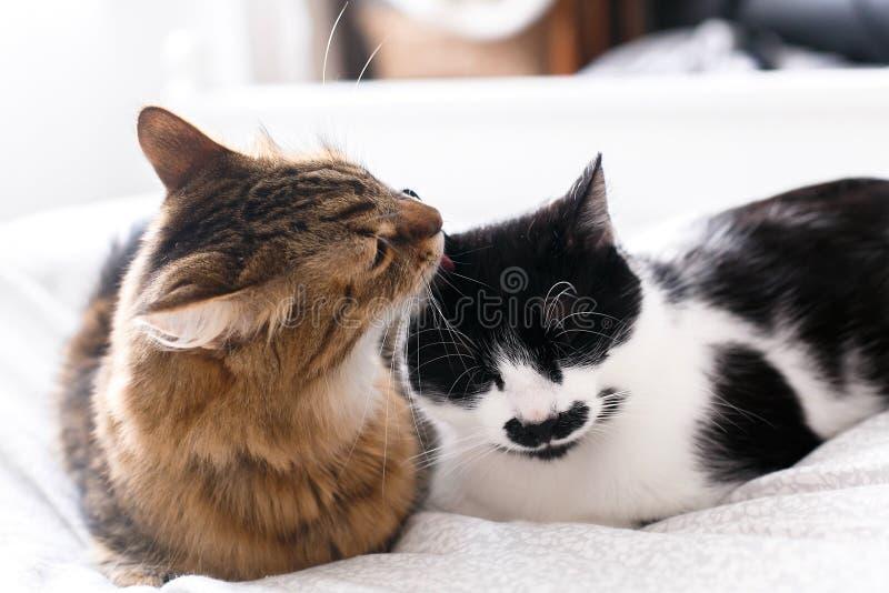 Maine coon liże jego śmiesznego przyjaciela kota i czyści z wąsem, siedzi na wygodnym łóżku w świetle kierowi mi?o?ci mices zwier zdjęcia royalty free