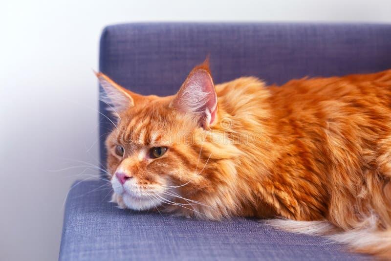 Maine Coon Lying vermelha no sof? fotografia de stock royalty free