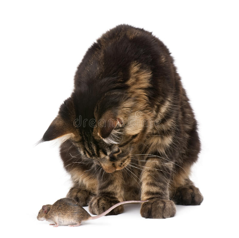 Maine Coon and mouse against white background royalty free stock photo