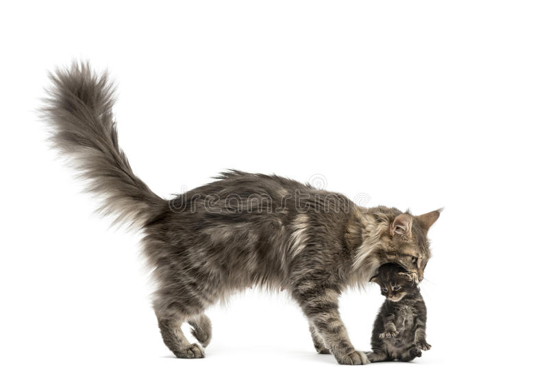 Maine coon mum holding her kitten. Isolated on white royalty free stock photography
