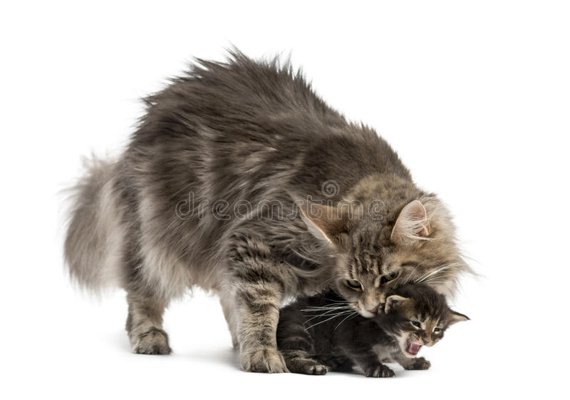 Maine coon mum holding her kitten royalty free stock photos