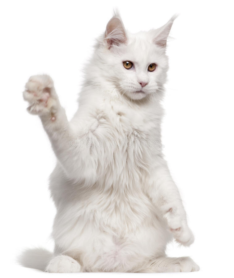 Maine Coon with paw up stock photography