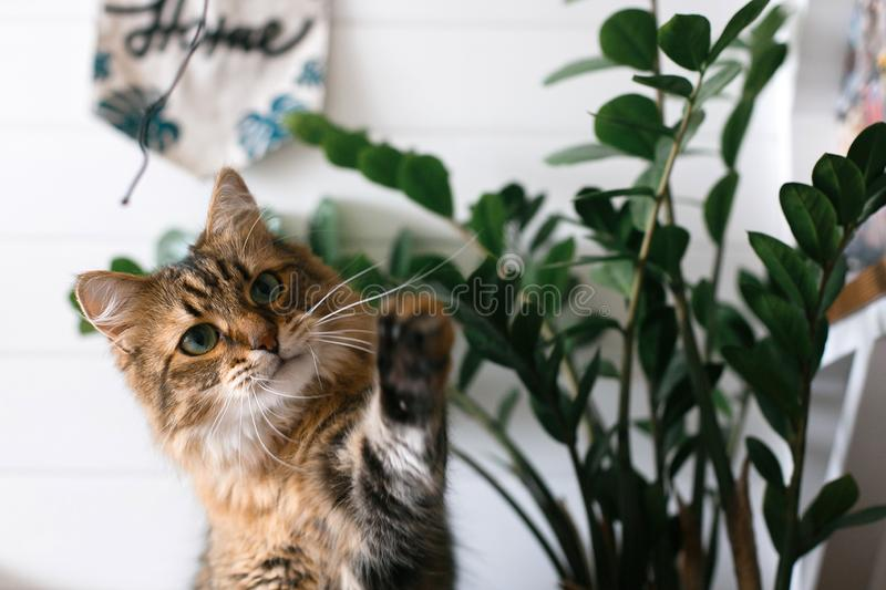 Maine coon playing with paw and looking with funny  emotions at zamioculcas leaves. Cute cat sitting under green plant branches on. Wooden shelf in stylish boho stock photos