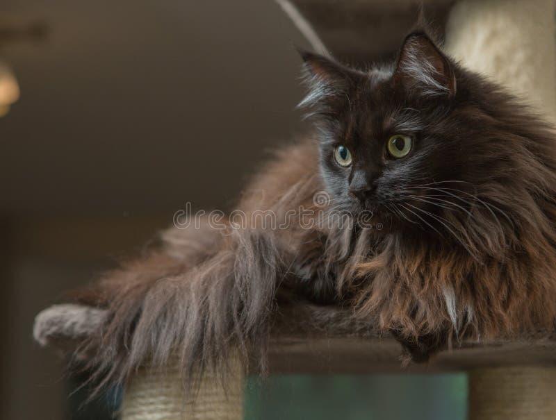 Maine Coon que encontra-se na casa do gato imagens de stock royalty free