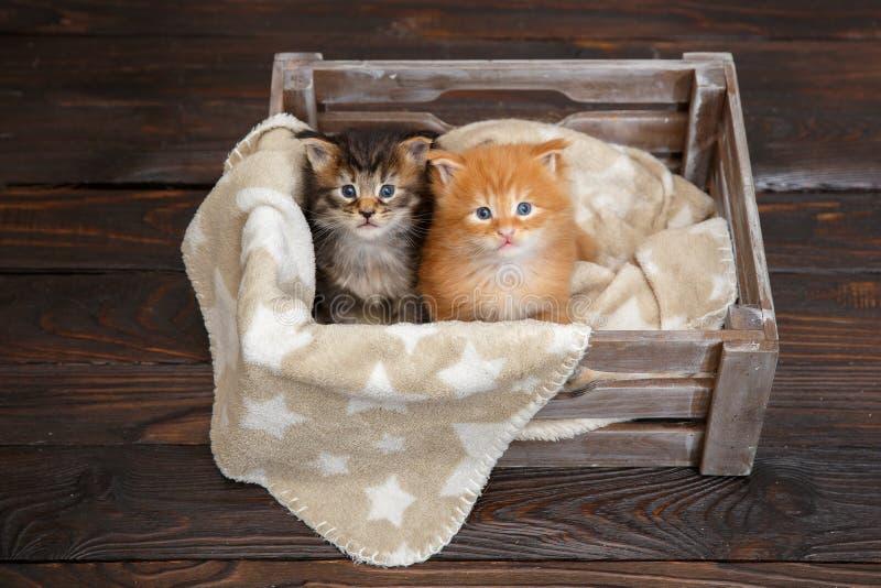 Maine Coon r?d kattunge som ligger i en tr?ask arkivfoton