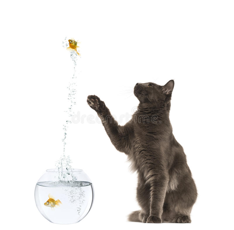 Maine Coon Reaching At A Goldfish Jumping Stock Photo