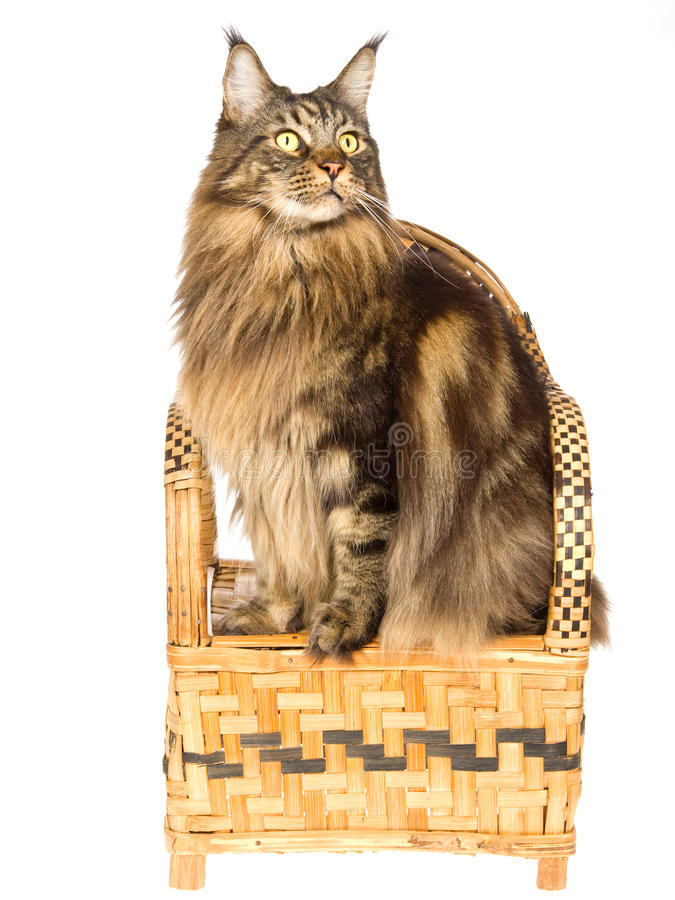 Maine Coon Sitting On Bamboo Chair Stock Photography