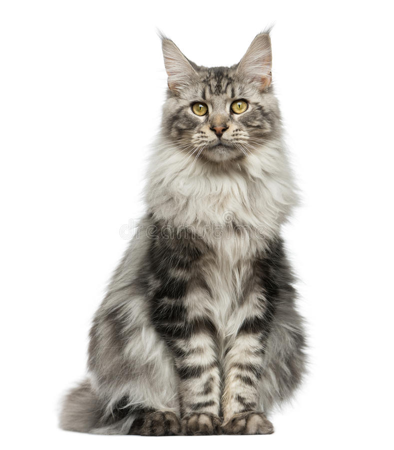 Maine Coon sitting stock photos