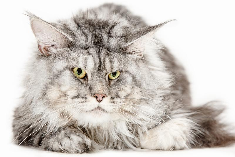 Maine Coon sitting and looking away, isolated on white stock photos