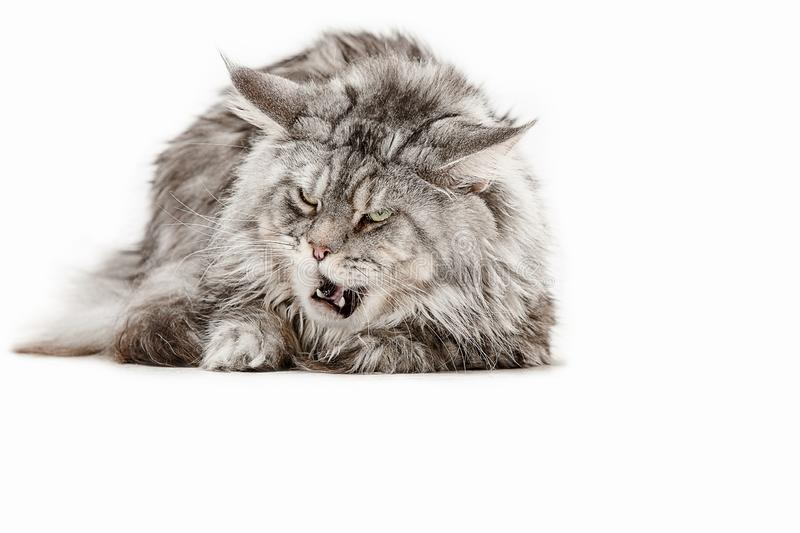Maine Coon sitting and looking away, isolated on white stock photography