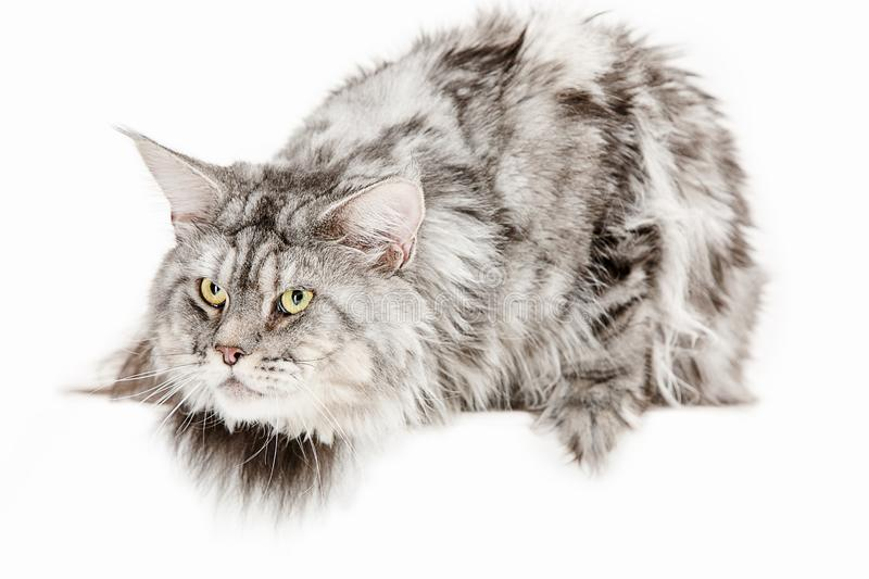 Maine Coon sitting and looking away, isolated on white royalty free stock photography