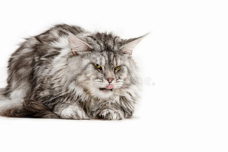 Maine Coon sitting and looking away, isolated on white royalty free stock photo