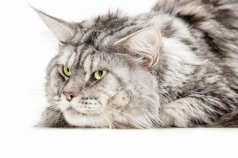 Maine Coon sitting and looking away, isolated on white stock photo
