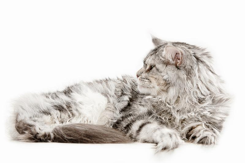 Maine Coon sitting and looking away, isolated on white stock image
