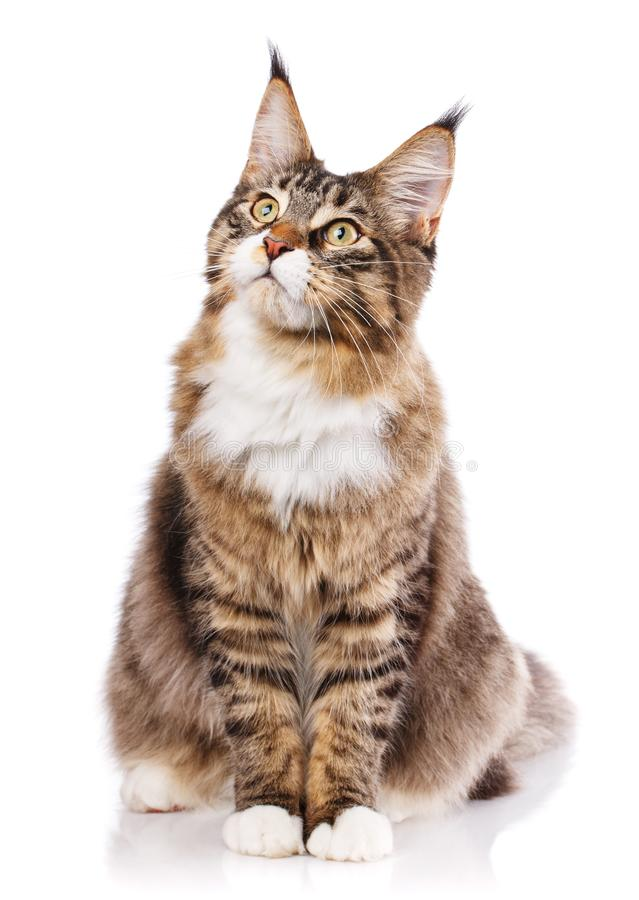Maine Coon sitting and looking away royalty free stock photography