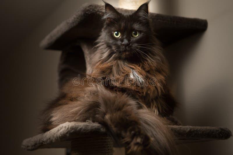 Maine Coon som ligger i katthus royaltyfri fotografi