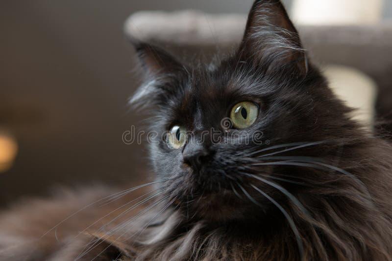 Maine Coon som ligger i katthus fotografering för bildbyråer