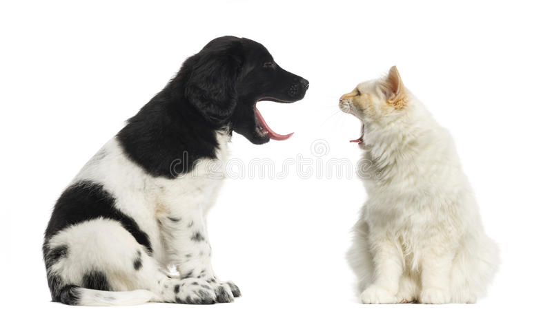 Maine Coon and Stabyhoun yawning at each other stock photography