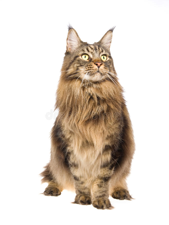 Maine Coon Standing On White Background Royalty Free Stock Images