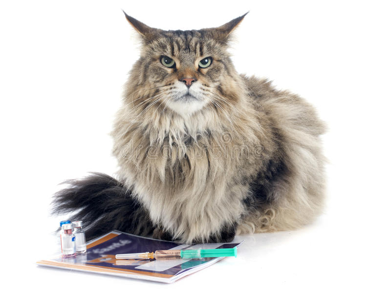 Maine coon and syringe stock images