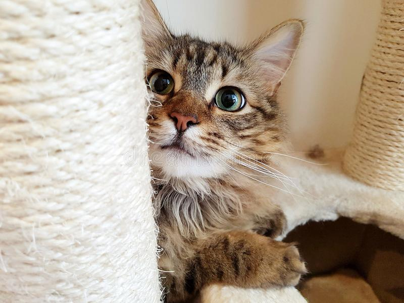 Maine coon tabby lynx cat. Maine coon tabby lynx playing peek a boo behind scratch post stock photos