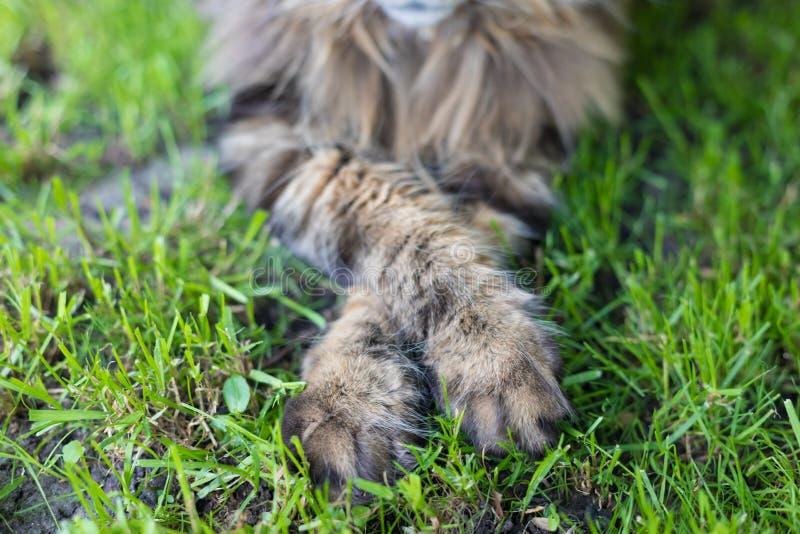 Maine Coon-Tatzen, die größte Katze, die auf dem Gras sitzt lizenzfreie stockfotografie