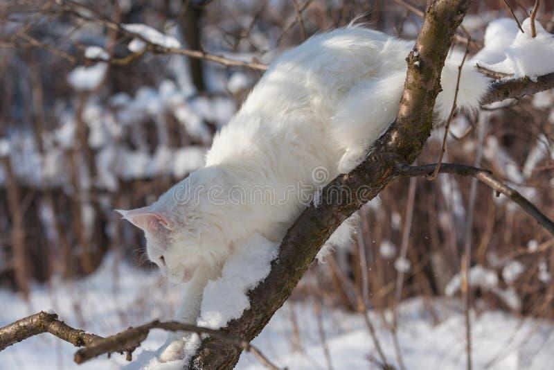 Maine-coone witte kat in de winter en de sneeuw royalty-vrije stock foto's